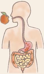 消化管を通過